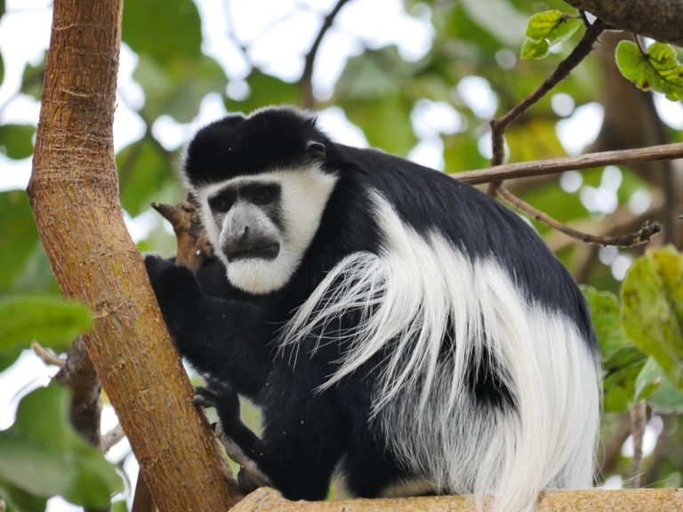 Resident Colobus monkey Lake Langano